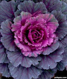 This picture, named Ornamental cabbage, was created by for the nature close up photography contest. Cabbage Plant, Cabbage Roses, Ornamental Cabbage, Ornamental Plants, Close Up Photography, Photography Contests, Flora Flowers, Pretty Flowers, Vegetable Animals