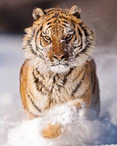 "beautiful-wildlife: ""Amur Tiger by © suhaderbent """