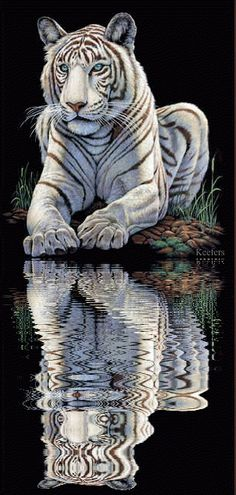 WHITE TIGER, WATER REFLECTION GIF