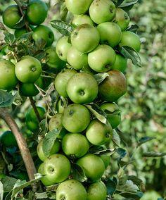 """Columnar Apple """"Bolero'® - Tree, Malus domestica 'Bolero'®"""