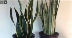 La NASA le dit : Ces plantes à cultiver dans votre maison pour améliorer la qualité de l'air, guérir l'insomnie et les problèmes respiratoires.