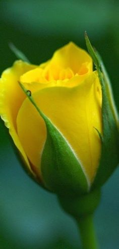 Most up-to-date Cost-Free yellow rose garden Thoughts Rose proper care is simpler when compared with a person think—everyone can expand these folks successfully. Amazing Flowers, Beautiful Roses, My Flower, Beautiful Flowers, Romantic Roses, Simply Beautiful, Coming Up Roses, Rose Wallpaper, Love Rose