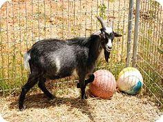 Union, MO - Goat. Meet ANDY, a pet for adoption. http://www.adoptapet.com/pet/11375255-union-missouri-goat