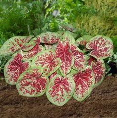 Caladium hortulanum 'Raspberry Moon' - Fancy Leaf Caladium www.vanbloem.com #vanbloemgardens #flowerbulbs #caladium