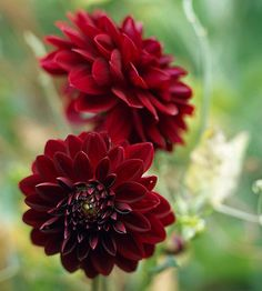Dahlia Arabian Night offers deep maroon, almost black, blooms that open several to a stem and grows 3 feet tall. Bloom, Dahlia, Plants, Beautiful Flowers, Perennial Sunflower, Perennials, Flowers, Fresh Flowers Arrangements, Dahlia Flower