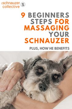 Simple steps for massaging your Schnauzer, and why it will be good for both of you. Schnauzer Grooming, Miniature Schnauzer Puppies, Giant Schnauzer, Schnauzer Puppy, Schnauzers, Baby Puppies, Baby Dogs, Doggies, Meds For Dogs