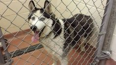 #OwnerSurrender 6-6-14 #Taylor #MI 3 year old #SiberianHusky Gray white & black #Adoptable NOW URGENT Good with kids & other animals ID# 14527 TAYLOR ANIMAL SHELTER https://m.facebook.com/story.php?story_fbid=10152459348859253&id=134114729252