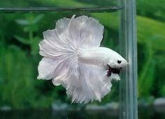 White rose Betta fish.
