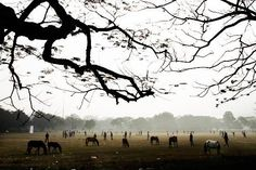 Horses graze as people play cricket on an open field on a winter morning in Calcutta, India,