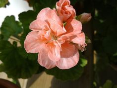 Elnaryds Pippi Om, Flowers, Plants, Plant, Royal Icing Flowers, Flower, Florals, Floral, Planets