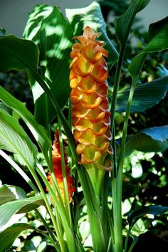 Lush, colorful beauty of Curcuma gingers will take you away to the…