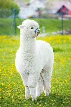 Alpacas That Will Make Your Day – Funnyfoto Funny Animal Memes, Cute Funny Animals, Cute Baby Animals, Farm Animals, Animals And Pets, Funny Memes, Alpacas, Alpaca Funny, Cute Alpaca