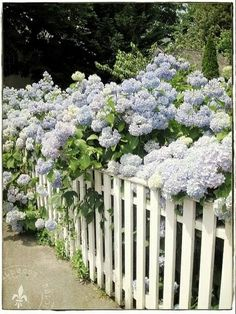 Pale Blue Hydrangea Flowers Spilling over White Picket Fence