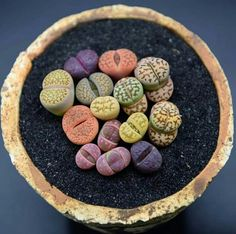 """Lithops or """"living stones"""""""