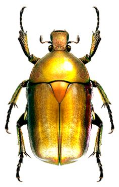 Rhomborrhina japonica