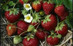 """NEW: 'Mara de Bois' apparently puts the """"awe"""" into strawberry - with a taste like a wild strawberry, but the size of a cultivated one. Perpetual cropper.  [Started 20 MAR 2015]"""