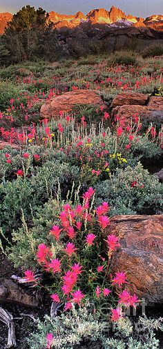 A vertical panoramic view of flowering pink lemmon's paintbrush castilleja lemmonii below the minarets from minaret vista in the Eastern Sierras California United united States. Photo by Dave Welling. Beautiful World, Beautiful Places, Beautiful Pictures, Landscape Photography, Nature Photography, Travel Photography, Photography Articles, Photography Flowers, All Nature