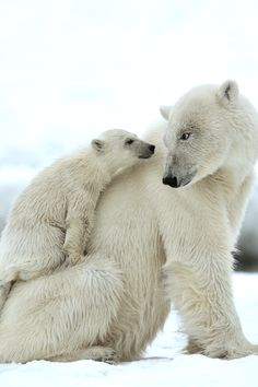 Mama Polar Bear and Cub