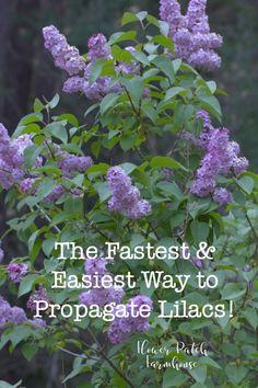 Propagate Lilacs fast and easy for swift bloom and more of what you love. Propagate Lilacs fast and eas Garden Shrubs, Shade Garden, Garden Landscaping, Garden Plants, Propigating Plants, Landscaping Borders, Landscaping Software, Fruit Garden, Gardening For Beginners