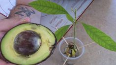 HOW TO GROW AVOCADO TREE FROM SEED.He has the best method... I have done these in the past! Try It... Lots of fun!