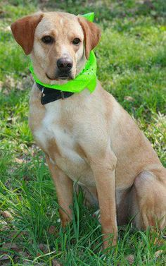 ***9/13/14 STILL LISTED***~Bear~ Yellow Labrador Retriever • Young • Male • Large Humane Society of Southeast Texas Beaumont, TX