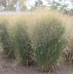Northwinds switchgrass in research plots at the U of Minnesota Landscape Arboretum.