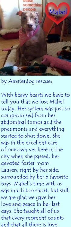 GONE 8/15/2015 --- SAFE 8-6-2015 by  Amsterdog Animal Rescue --- SUPER URGENT Manhattan Center MABEL – A1045550 ***NEEDS FOLLOW UP VET CARE ASAP*** FEMALE, TAN / WHITE, AM PIT BULL TER MIX, 8 yrs STRAY – EVALUATE, NO HOLD Reason STRAY Intake condition EXAM REQ Intake Date 07/27/2015 ++++++++UNABLE TO WALK++++++++ http://nycdogs.urgentpodr.org/mabel-a1045550/