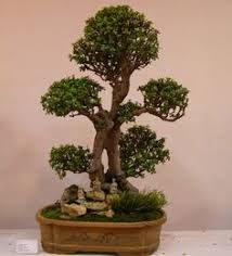 Image result for bonsai portulacaria