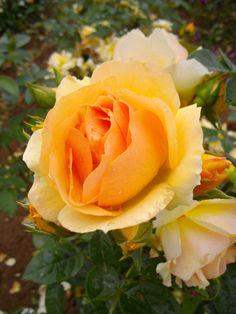 Rosier à fleurs groupées Mytique® Tan04603 Love Rose, Plants, Rose Bush, Beautiful Roses, Flowers, Plant, Planets