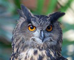 eurasian-eagle-owl-face-closeup.jpg (920×754)