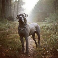 I really really want one of these dogs! (Cane Corso)