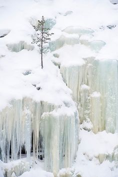 Scots pine and frozen waterfalls, Korouoma Gorge, Finland