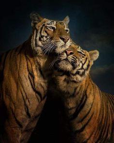 Wildlife Of India, Save Wildlife, Majestic Animals, Animals Beautiful, Cute Animals, Beautiful Things, Wild Photography, Wildlife Photography, Tiger Fotografie
