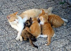 A litter of kittens being suckled by their mother