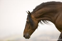 Ojai, CA, purebred horse, bay Andalusian stallion stretches down
