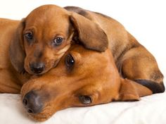 Cute dachshund mom and puppy via www.Facebook.com/FionaChilds
