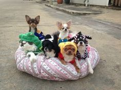 This Adorable Pack of Chihuahuas Has a Cat as Their Alpha #chihuahuadaily #teacupdogs #teacupchihuahua