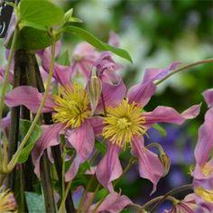 Clematis Sweetheart Climbing Clematis, Clematis Vine, Climbing Vines, Garden Cafe, Garden Pots, Bulb Flowers, Flower Pots, Chelsea Flower Show, Trees To Plant