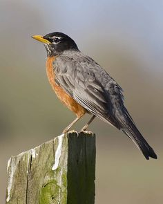 American Robin, Michigan state bird