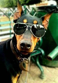 What a cool Doberman