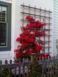 Image result for bougainvillea flower trellis
