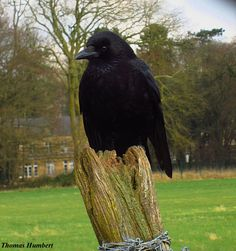 Carrion crow by Thomas Humbert
