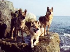 Czechoslovakian Wolfdog | Pictures, Info, Reviews