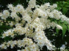 「陽を待つ小さな白い花(ホザキナナカマド)」 碑文谷  2012/06/07