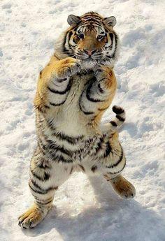 Tigre Siberiano ---    Caiu vertiginosamente a população do tigre siberiano(Panthera tigris altaica) ou Tigre de Amur.     Atualmente há apenas 250 animais no mundo.   Esses felinos já enfrentaram o grande perigo de caçadores, responsáveis por matar cerca de 30-50 tigres por ano.