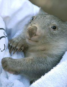 Ohai, just a baby wombat here Happy Animals, Animals And Pets, Cute Animals, Baby Wombat, Rare Albino Animals, Quokka, Australian Animals, Fluffy Animals, Woodland Animals