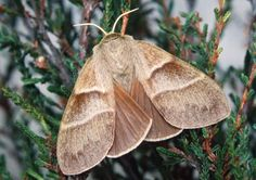 Butterfly Conservation is a British charity devoted to saving butterflies, moths and their habitats throughout the UK. Brown Moth, Sloth Photos, Moth Species, Large Moth, Moth Tattoo, Tiny World, Indian Elephant, Bugs And Insects, Outdoor Travel