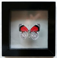 Mounted Red and Black Butterfly Tattoo idea to represent Devin