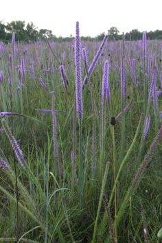 Prairie Blazing Star (Liatris Pycnostachya) Bloom Period: July-August Bloom Color: Purple Height: 3-5 ft Location: Sun Flops without tall competition