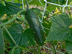 How to tell your cucumbers are ready To Be Picked!